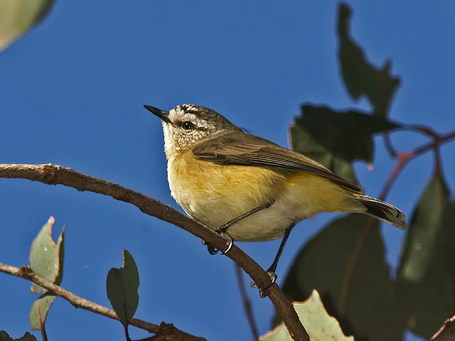 Decoy nest protects young yellow-rumped thornbills