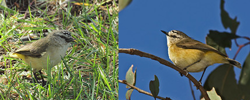 Yellow-rumped thornbills