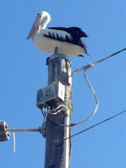 Pelican on a pole - my favourite