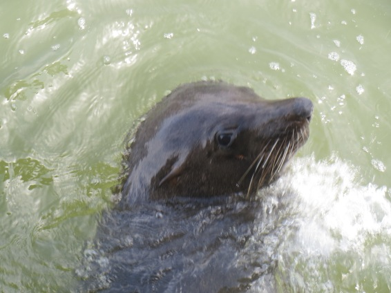 Seal at Marlo jetty